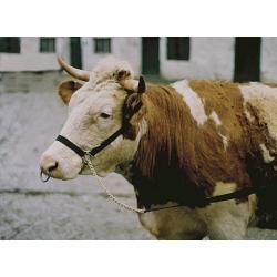 Capezza con catena e lunghina per bovini