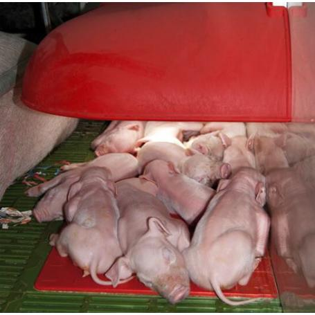 Nest cover for piglets